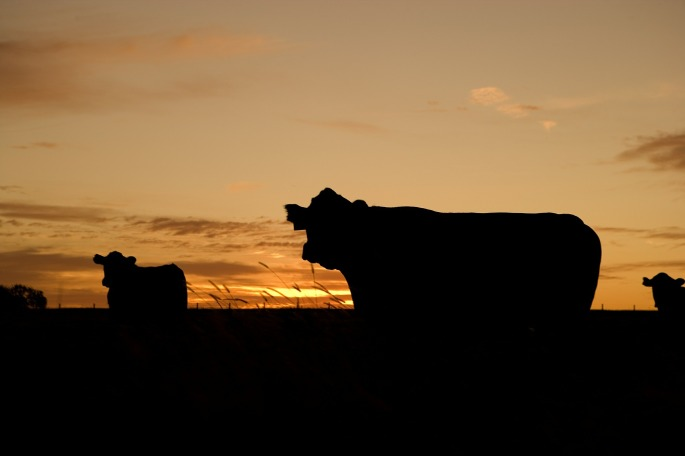 cattle-640985_1920